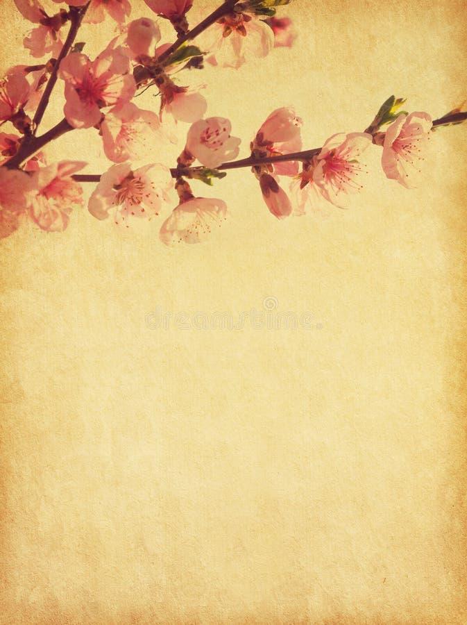 Pêssego na flor imagens de stock
