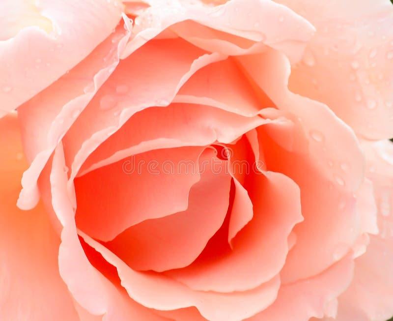 Pêssego Rose Wallpaper imagem de stock royalty free
