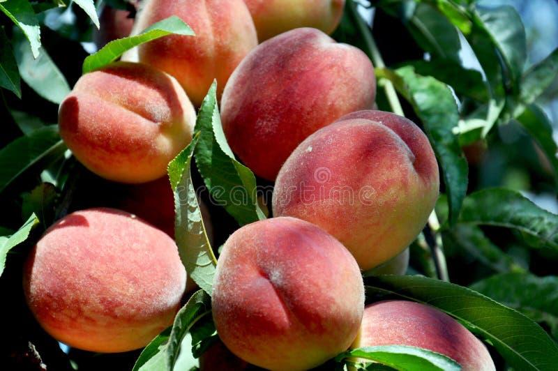 Pêssegos doces em ramos de árvore do pêssego no jardim Fruto natural imagem de stock