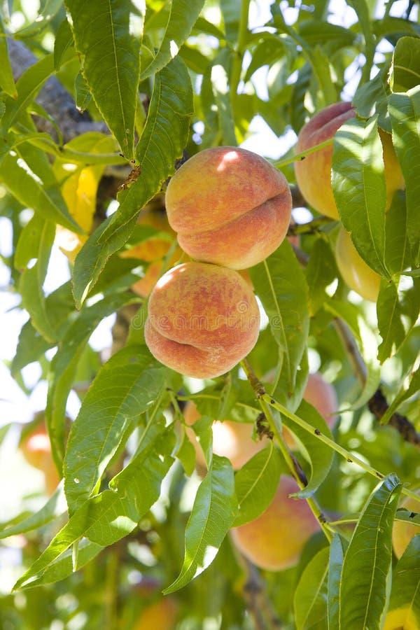 Pêssegos na árvore fotos de stock royalty free