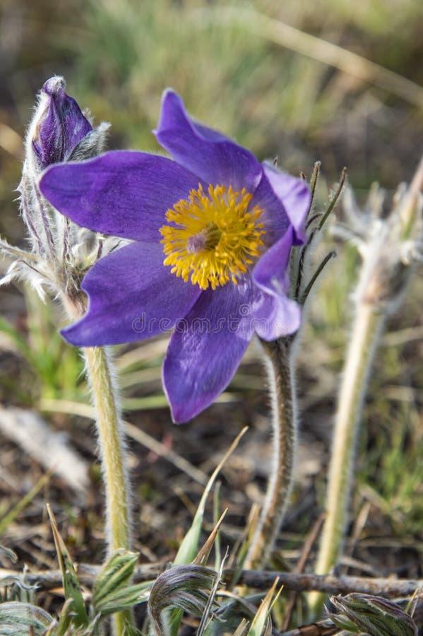 Pаtens de Anеmone de la flor imagen de archivo