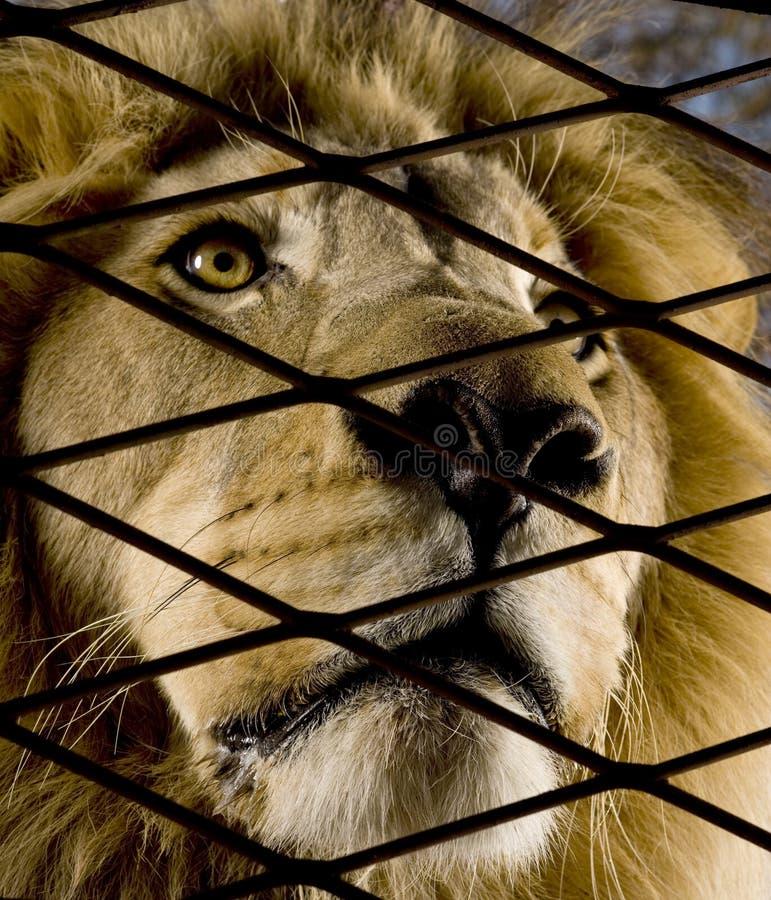 pół 4 Leo lwa lata panthera zdjęcie stock