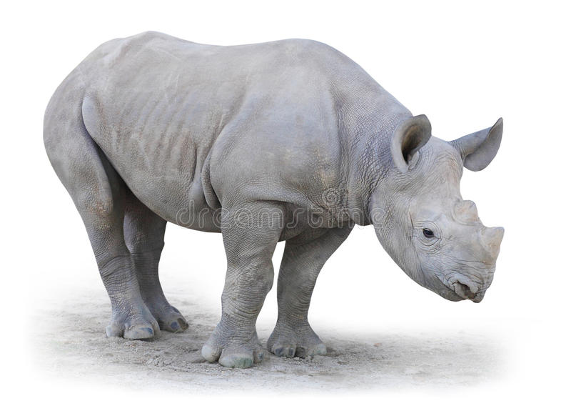 Północna Biała nosorożec (Ceratotherium simum cottoni). obraz royalty free