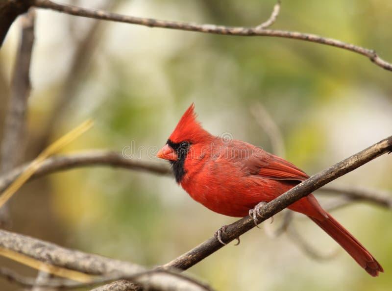 północna cardinalis główna samiec zdjęcie royalty free