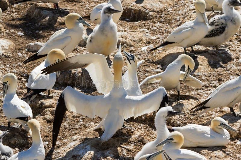 Północna gannet kolonia na zakończeniu w górę obrazka fotografia royalty free