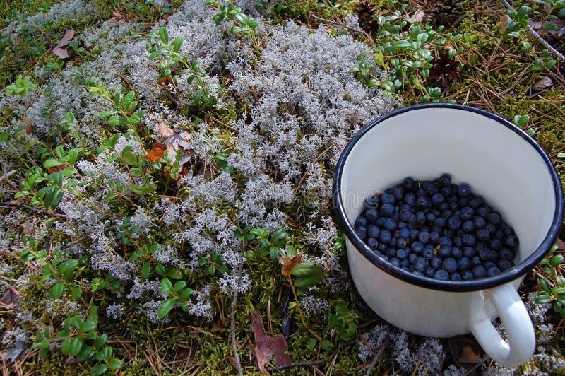 Północna lasowa ` s czarna jagoda zdjęcie stock