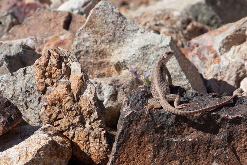 Północna Pustynna iguana na skale zdjęcia royalty free