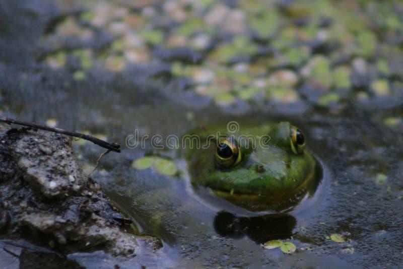 Północna Zielona żaba w bagnie Także znać jako Amerykańska Pospolita żaba Don Dolinni Brickworks parki, Toronto, Ontario obrazy stock
