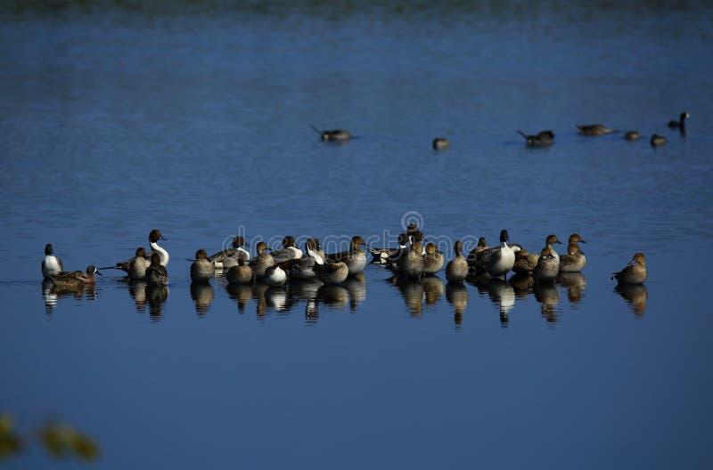 Północnego Pintail kaczki obraz stock