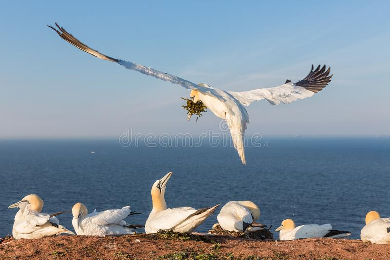 Północni gannets buduje gniazdeczko przy Niemiecką wyspą Helgoland obraz royalty free