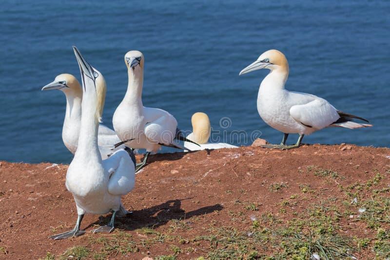 Północni gannets w lęgowej koloni przy falezami niemiec Helgolan zdjęcie stock