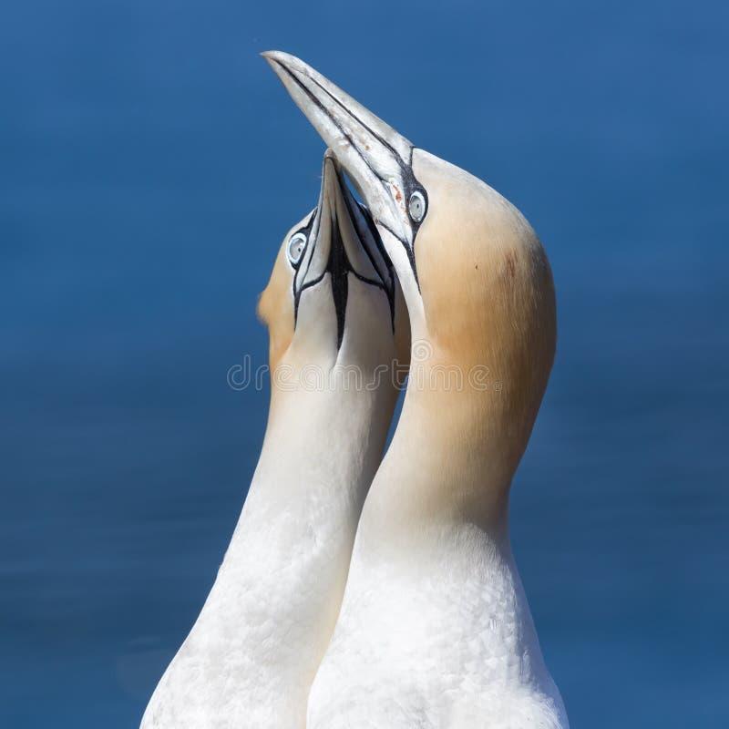 Północni gannets w lęgowej koloni przy falezami niemiec Helgolan fotografia royalty free