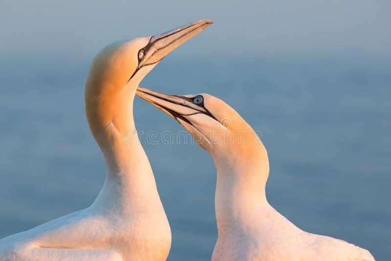 Północni gannets w lęgowej koloni przy falezami niemiec Helgolan fotografia stock
