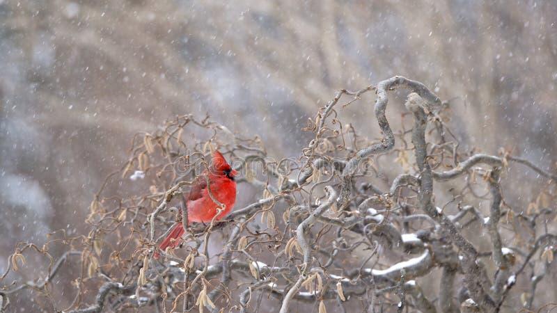 Północni kardynała Cardinalis cardinalis fotografia stock