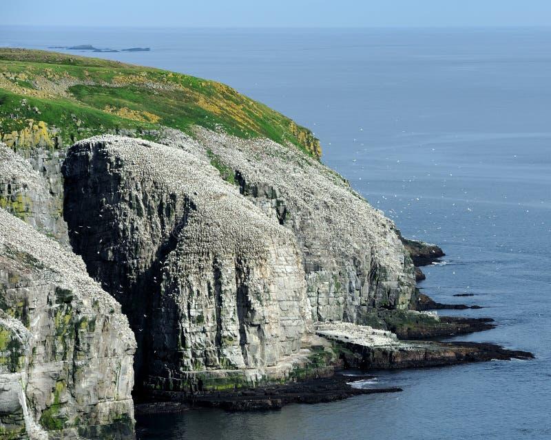 północni koloni gannets obraz stock