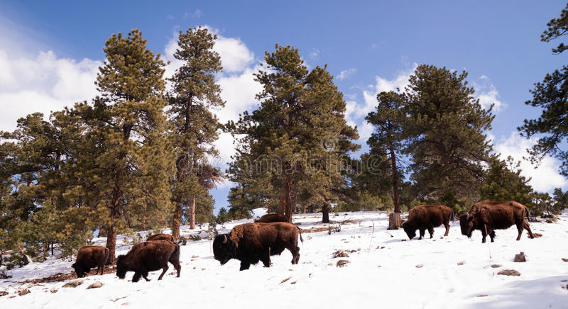 Północnoamerykański żubra bizon Wędruje zbocza Świeżego Śnieżnego niebieskie niebo obraz royalty free