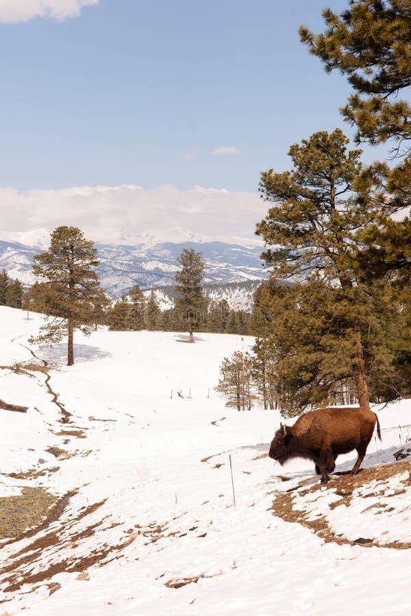 Północnoamerykański żubra bizon Wędruje zbocza Świeżego Śnieżnego niebieskie niebo zdjęcia royalty free