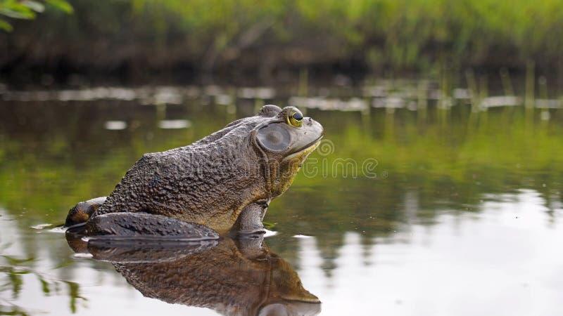 Północnoamerykański bullfrog obraz royalty free