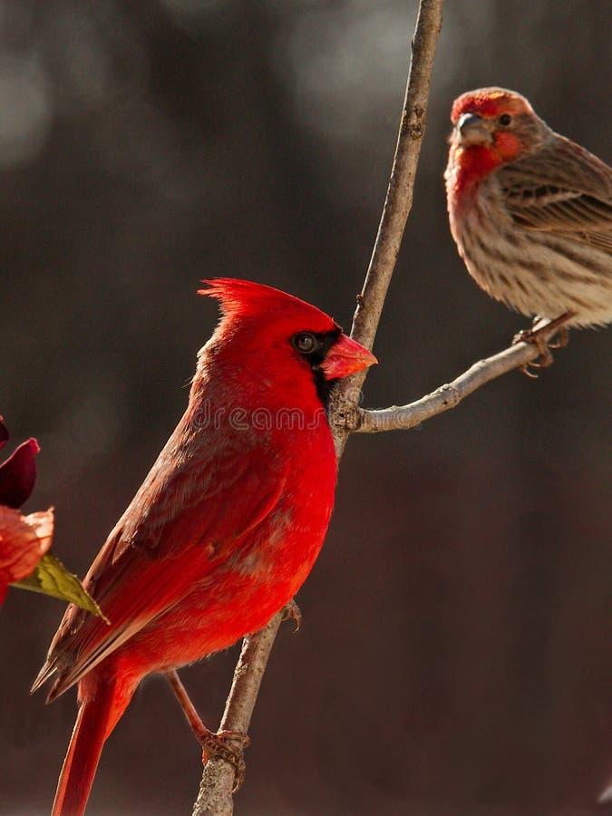 Północnoamerykański Czerwony męski kardynał obrazy royalty free