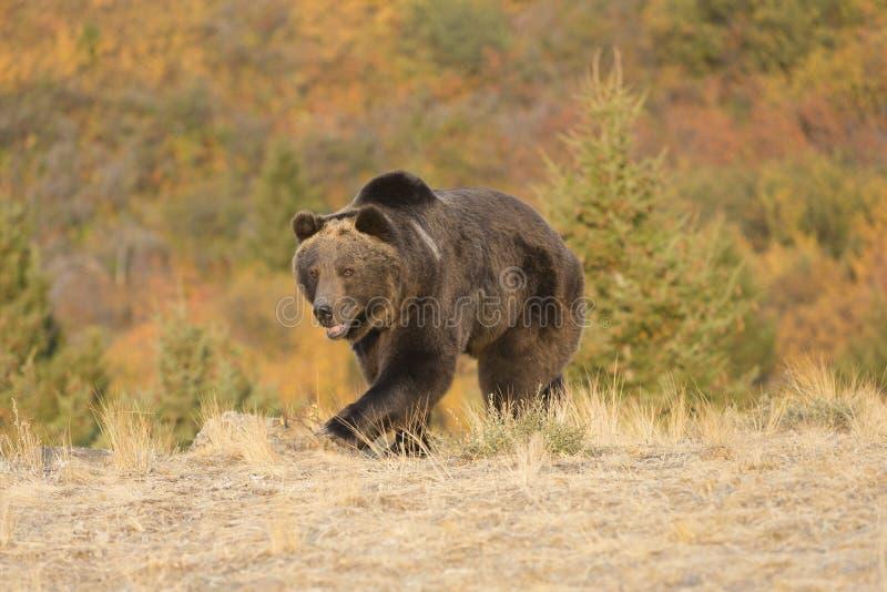 Północnoamerykański grizzly niedźwiedź przy wschodem słońca w Zachodnim usa zdjęcia royalty free