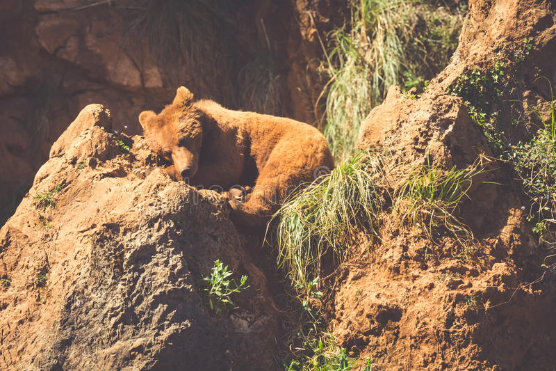 Północnoamerykański grizzly niedźwiedź przy wschodem słońca w Zachodnim usa zdjęcie stock