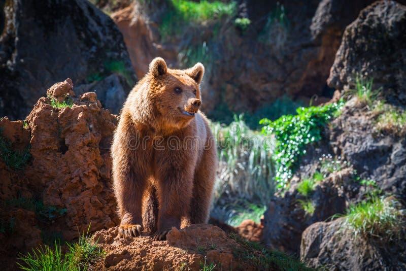Północnoamerykański grizzly niedźwiedź przy wschodem słońca w Zachodnim usa fotografia stock