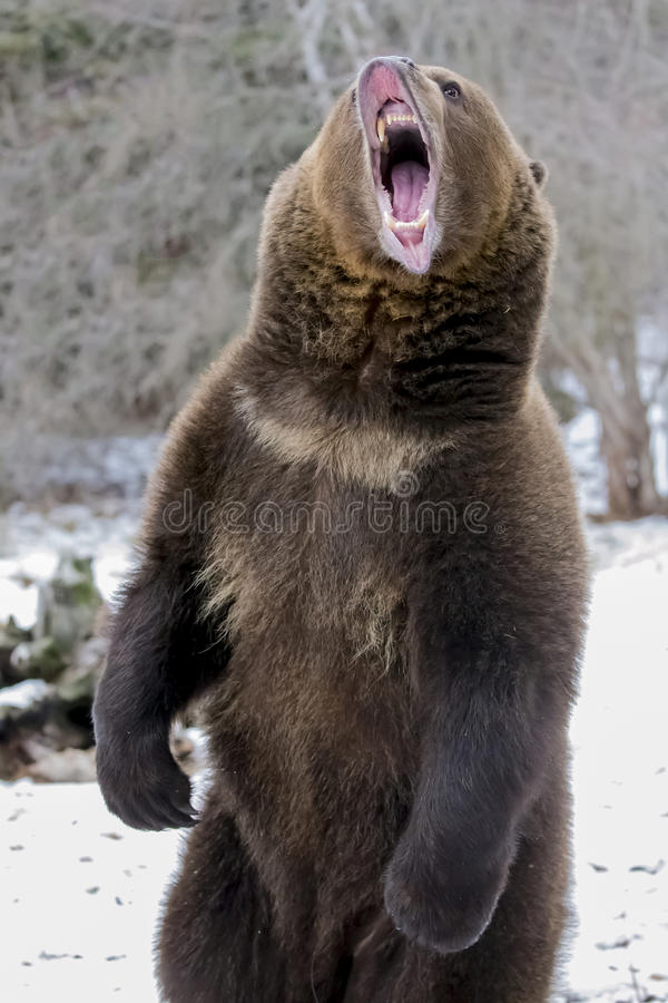 Północnoamerykański Ninja niedźwiedź obraz stock