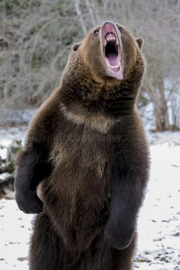 Północnoamerykański Ninja niedźwiedź zdjęcia stock