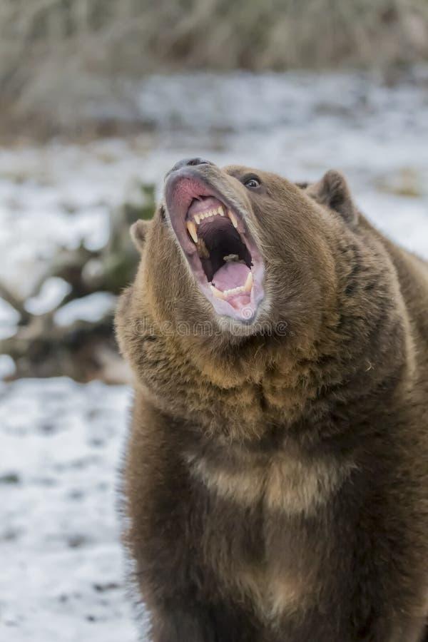 Północnoamerykański Ninja niedźwiedź zdjęcie stock