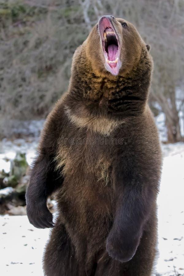 Północnoamerykański Ninja niedźwiedź fotografia royalty free