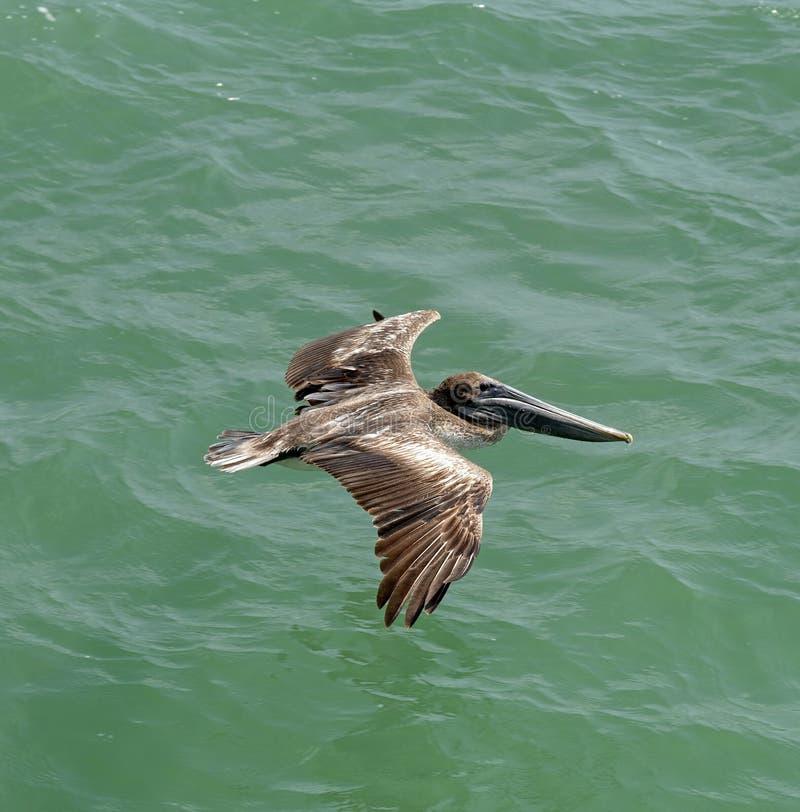 Północnoamerykański pelikan patrzeje dla jedzenia obrazy royalty free