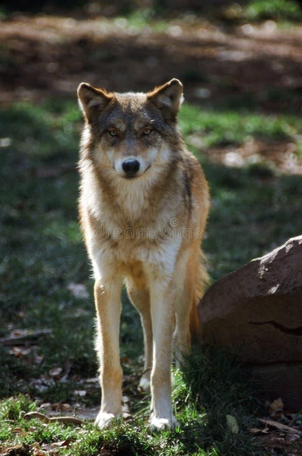 Północnoamerykański szalunku wilk obraz stock