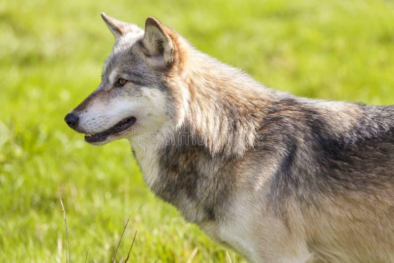 Północnoamerykański Szary wilk, Canis Lupus fotografia stock