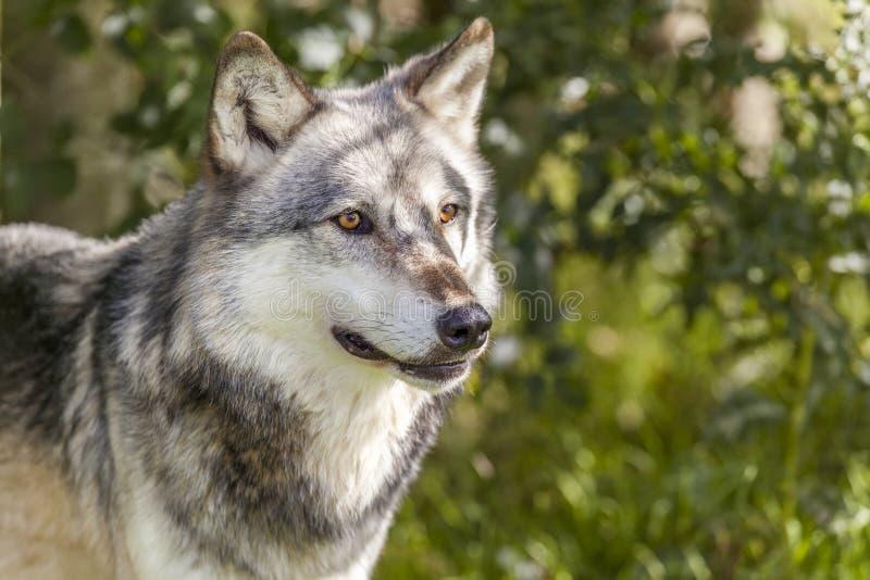 Północnoamerykański Szary wilk, Canis Lupus zdjęcia stock