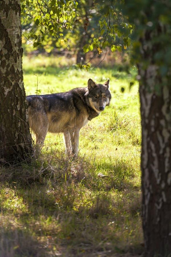 Północnoamerykański Szary wilk, Canis Lupus zdjęcie stock
