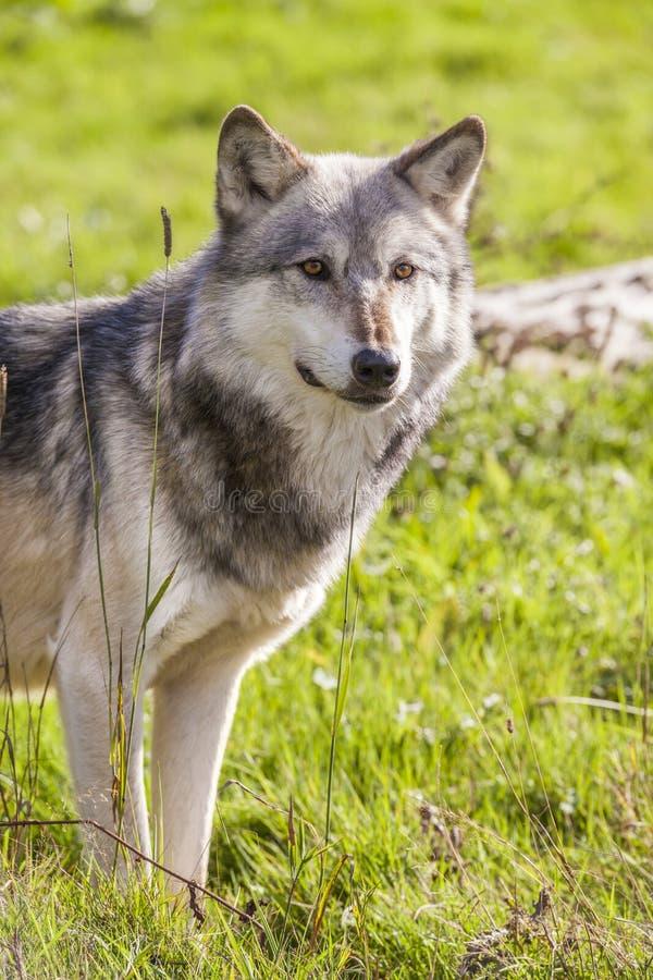 Północnoamerykański Szary wilk, Canis Lupus obraz stock