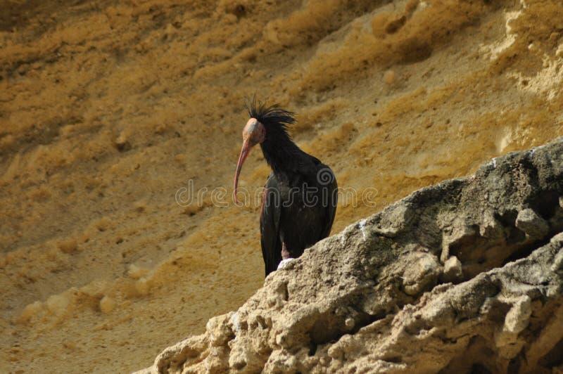 Północny łysy ibis, ibisa eremita, siedzi na skale w lęgowej koloni obrazy royalty free