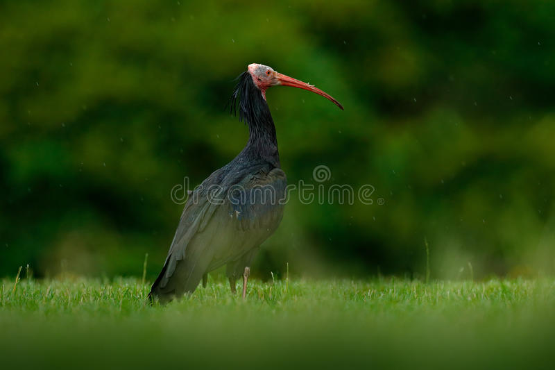 Północny Łysy ibisa Geronticus eremita, egzotyczny ptak w natury siedlisku, ptak z deszczem z pięknym wieczór słońca światłem, po obraz royalty free