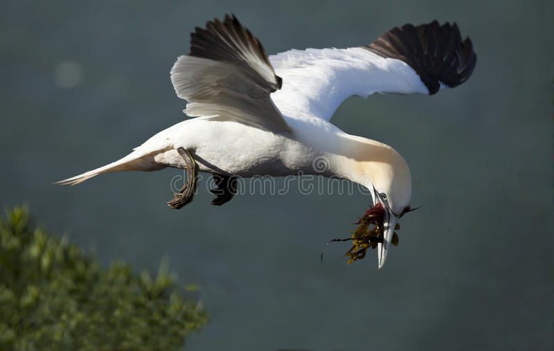 Północny gannet fotografia stock