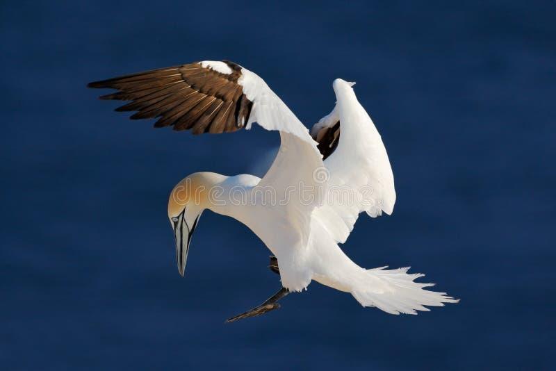 Północny gannet, lata czarny i biały dennego ptaka z zmrokiem - błękitna woda morska w tle, Helgoland wyspa, Niemcy zdjęcie stock