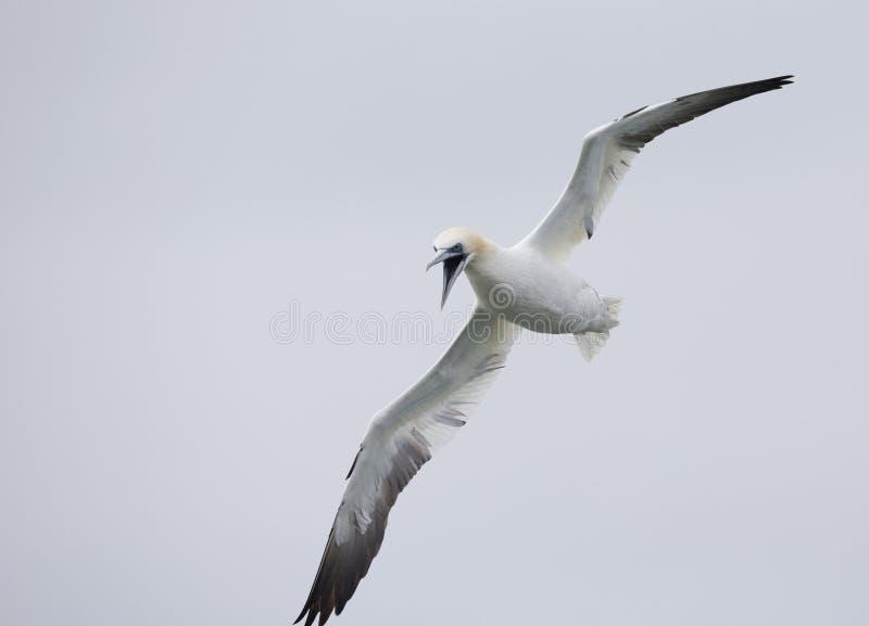 Północny gannet Morus bassanus gotowy nurkować dla rybiego za morzu północnym w daleko fotografia stock