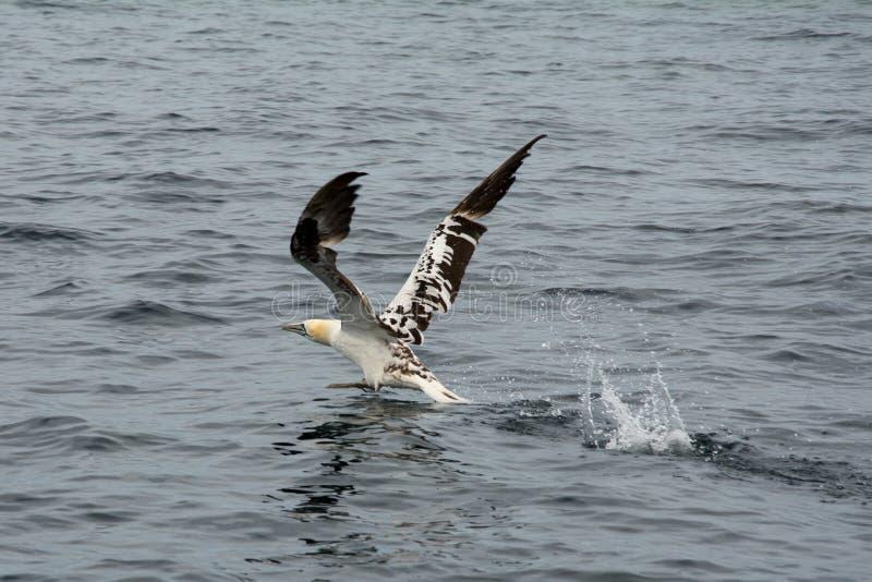 Północny gannet Morus bassanus lata nad morzem zdjęcia royalty free