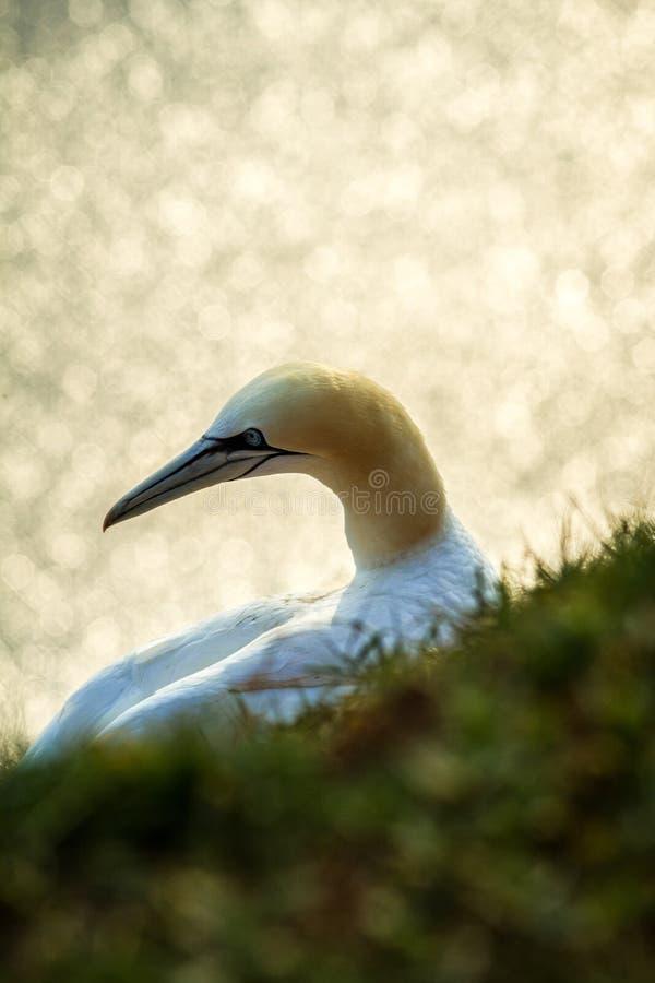 Północny Gannet Morus bassanus, matuje gannets na falezach, ptasia para bawić się z piórkiem zdjęcie royalty free