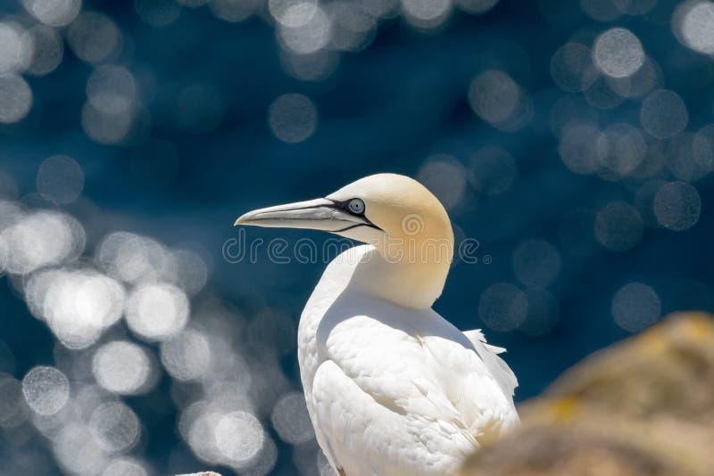 Północny gannet Morus bassanus szuka jedzenie fotografia royalty free