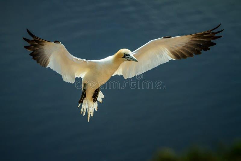 Północny Gannet Morus bassanus w locie ląduje gniazdeczko fotografia stock