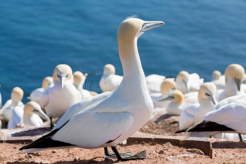 Północny gannet obsiadanie na gniazdeczku obraz royalty free