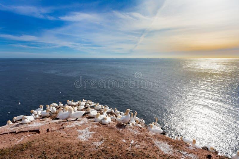 Północny gannet obsiadanie na gniazdeczku obrazy stock