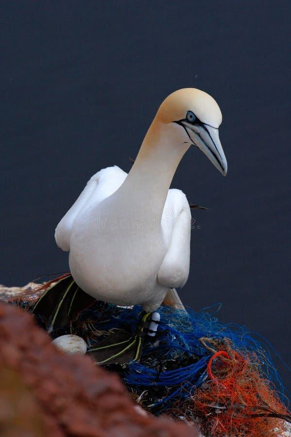 Północny Gannet w gniazdeczku z białym jajkiem Denni ptaki na suną skałę Piękni ptaki w miłości Pary zwierzęta na Helgoland wyspi fotografia stock
