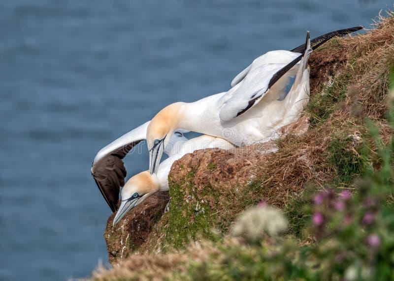 Północny Gannets - Morus bassanus kotelnia, Yorkshire obrazy royalty free