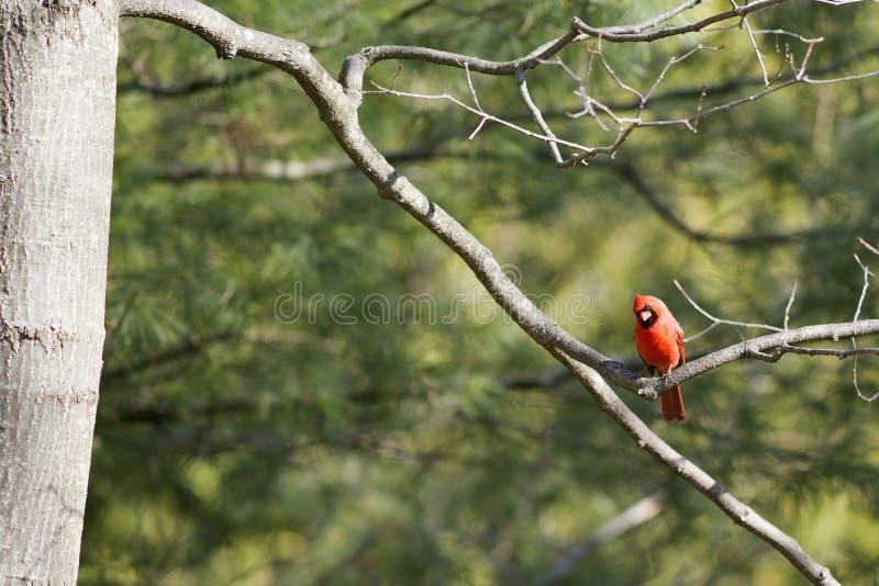 Północny kardynał zdjęcie royalty free